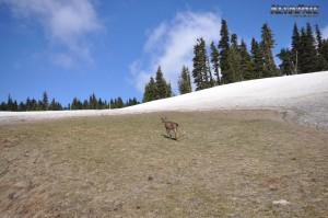 Hurricane Ridge Wildlife