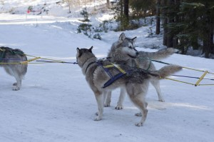 Team of Malamute Sled Dogs