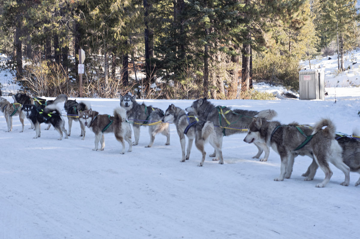 malamute sled dogs - leavenworth, wa